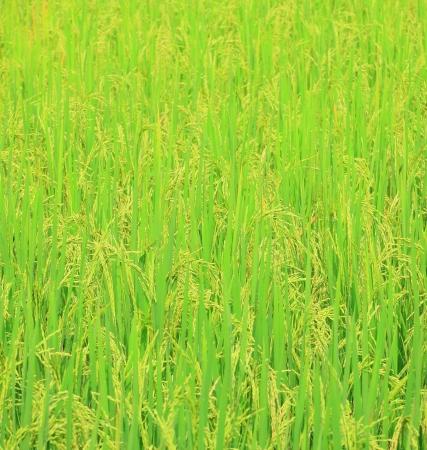 Rice field with rice panicle photo