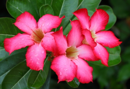 Red adenium flowers