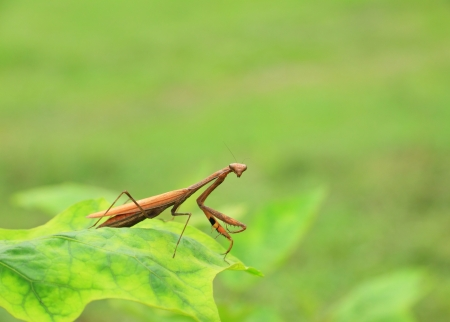 Brown praying mantis  Stock Photo