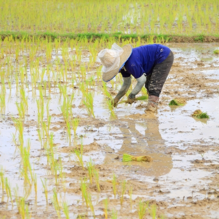 Farmer planting rice  photo