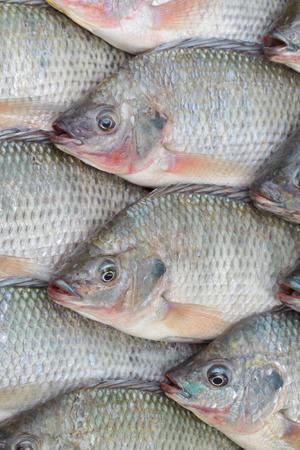 nile tilapia: Nile Tilapia