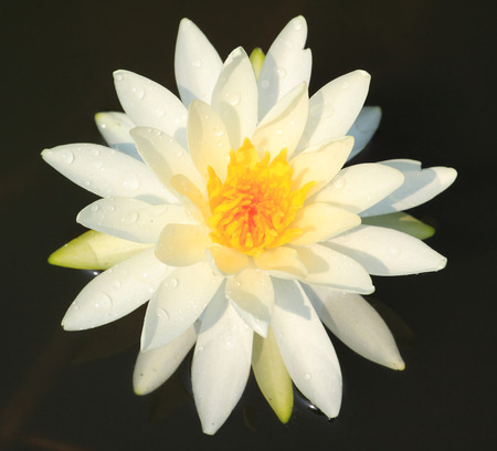 White water lily photo