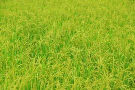 panicle: Rice field with rice panicle