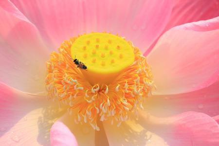 Close up pink lotus flower photo