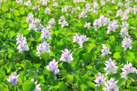 Water Hyacinth flowers Stock Photo