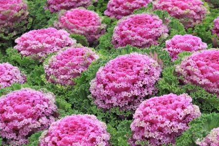 Decorative cabbage plantation