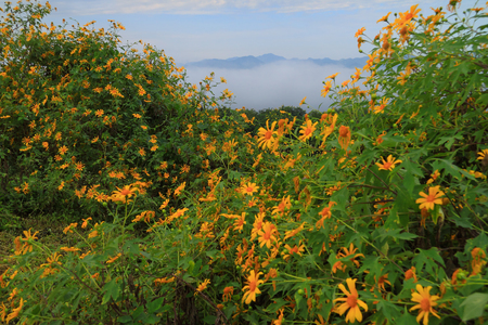 Mexican sunflower with foggy, Mae Moh ,Lampang,Thailand Stock Photo