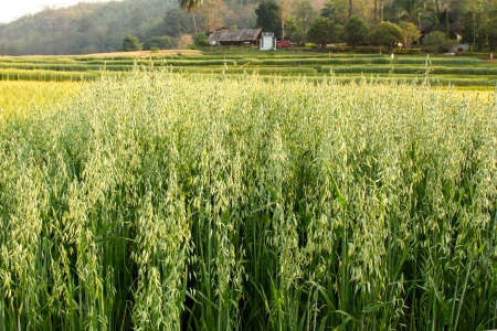 non cultivated: Oat Field in the morning
