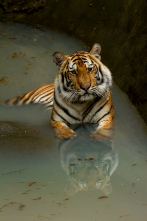 species living: Bengal Tiger in the water. Stock Photo