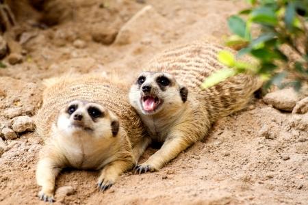 character traits: Meerkat are threatening intruders.