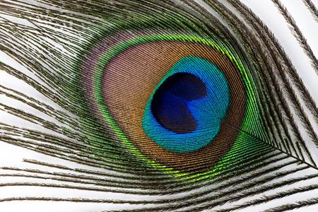 pluma de pavo real: Pluma del pavo real en el fondo blanco. Foto de archivo