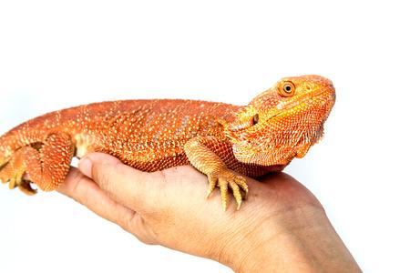 bearded dragon lizard: Baby Bearded Dragon. Stock Photo