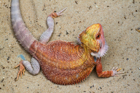 slough: Baby Bearded Dragon slough off. Stock Photo