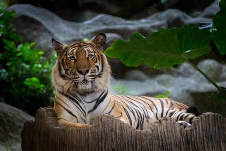 lay down: Bengal Tiger lay down on the rock.