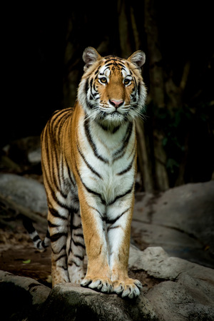 species living: Bengal Tiger stand up and looking forward to something. Stock Photo