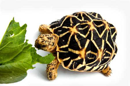 omnivore animal: Indian star tortoise Stock Photo
