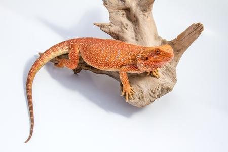bearded dragon: Baby Bearded Dragon. Stock Photo