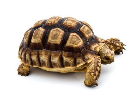 Leopard Tortoise (Geochelone pardalis)