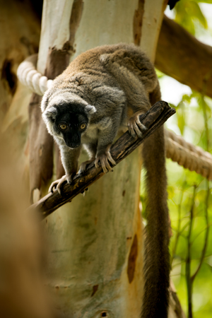 rare animal: Brown Lemur, rare item animal.