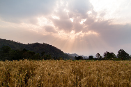 non cultivated land: Barley rice field in the morning light.