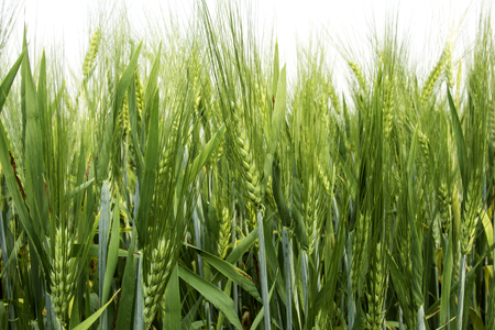 non cultivated land: Barley field