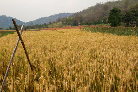 non cultivated: Barley rice field during the harvest season. Stock Photo