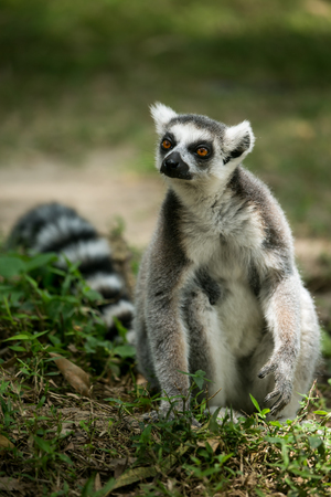 ring tailed: Ring- tailed Lemur sit on the ground. Stock Photo
