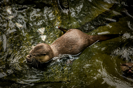clawed: Asian otter swimming and eatting in the water.
