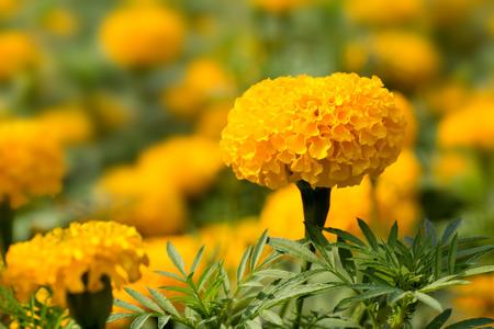 garden marigold: The beautiful marigold flower in tropical garden.