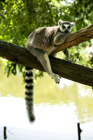 ring tailed: Ring- tailed Lemur sit on the tree. Stock Photo