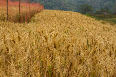 non cultivated land: Barley rice field during the harvest season. Stock Photo