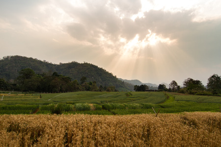 non cultivated: Barley rice field in the morning light.