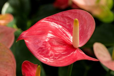 anthurium: Anthurium or Flamingo Flower,