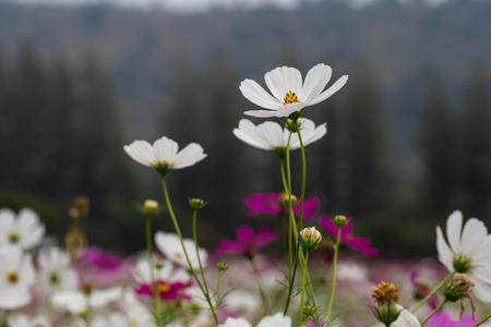 tropical garden: The beautiful Cosmos flower in tropical garden.