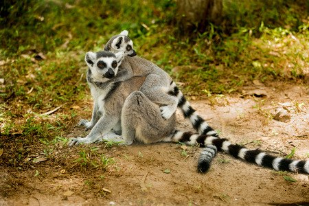 Baby ring- tailed Lemur on mother back.