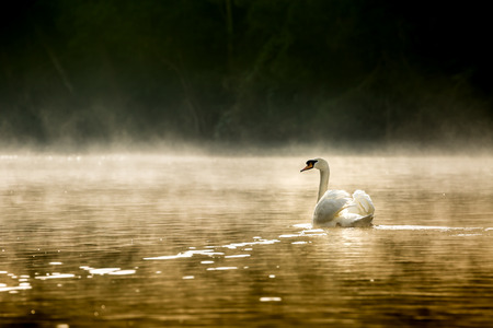 White swan swims in the morning mist. Stock Photo - 87206065