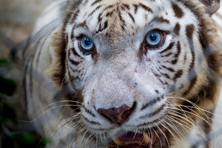 Close up the face of white tiger.