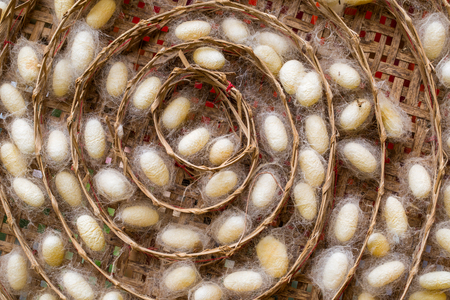 The silk cocoon, nesting of the silkworm. Stock Photo