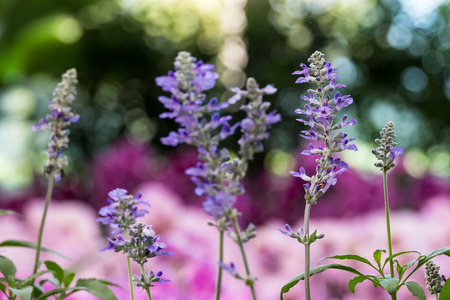 The blue Salvia flower in the tropical garden.