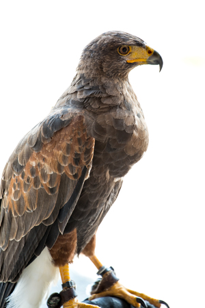 The hawk stand on the bar. Stock Photo