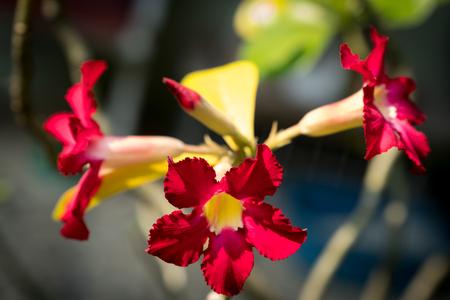 Desert Rose or Impala Lily or Mock Azalea.