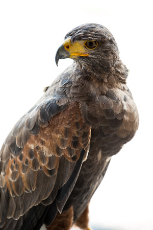 Portrait of the hawk..