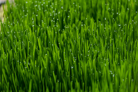 Fresh wheat grass with drop of water. Stock Photo