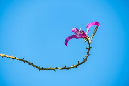 Bauhinia purpurea Linn, the beautiful tropical flower. Stock Photo