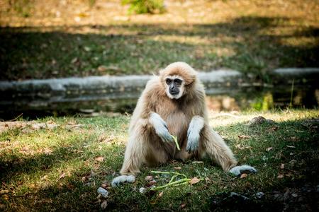 White-Handed Gibbon in tropical garden. Stock Photo