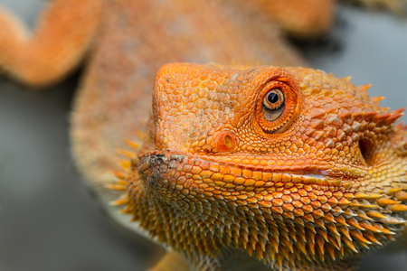 Baby Bearded Dragon close up.