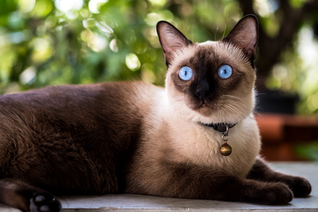 The beautiful Siamese cat with blue eyes.