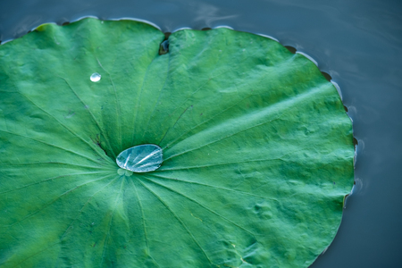 Drop of water on lotus leaf.