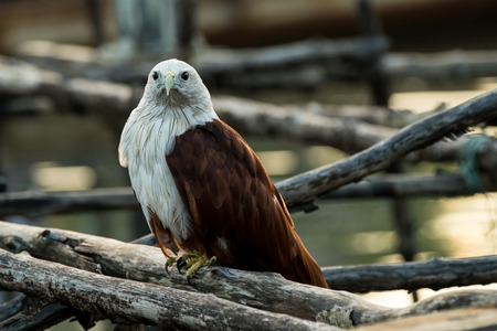 Young Red-backed sea-eagle or Brahminy kite. 写真素材