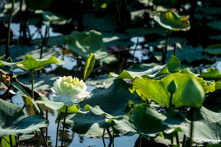 White lotus flower in swamp.